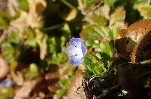 s-青い花20171229