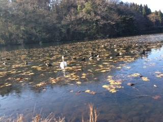 昭和の森池の鳥