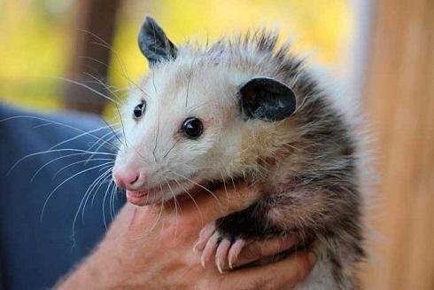 possum_.jpg