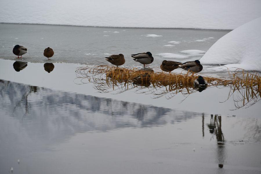雪の池に水鳥-1
