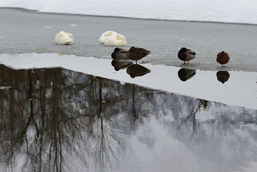 雪の池に水鳥-4
