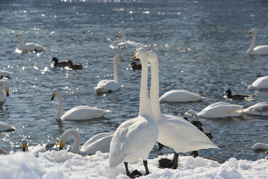 白鳥の郷-1