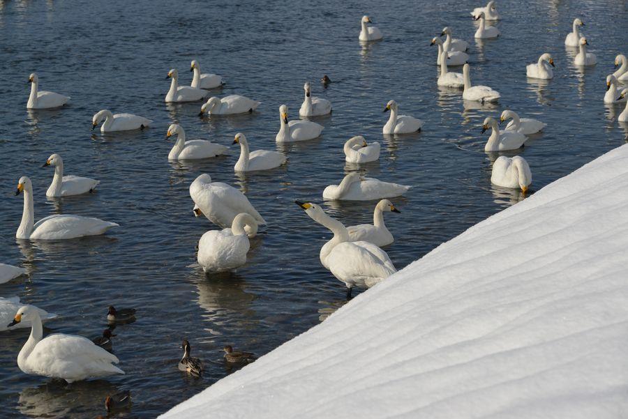 白鳥の郷-5