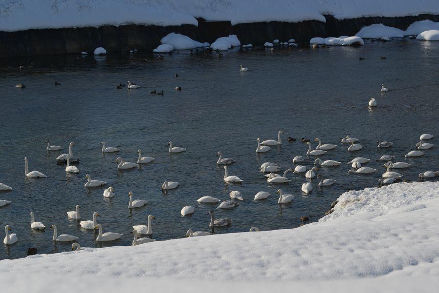 白鳥の郷-6