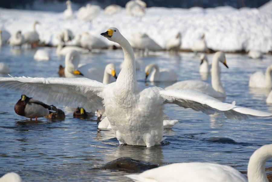 白鳥の舞い-2