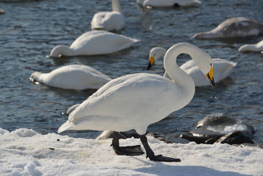 白鳥の舞い-4