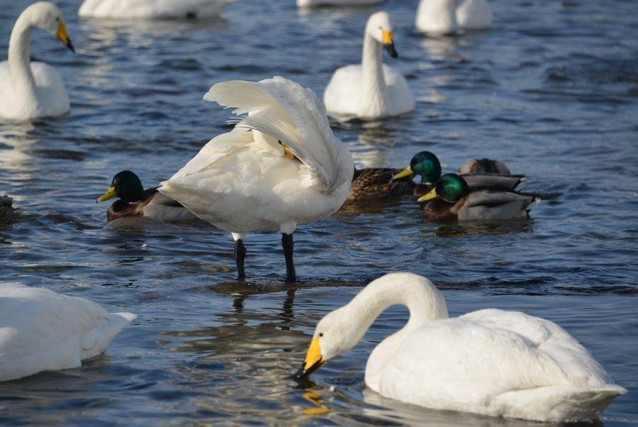 白鳥の舞い-5