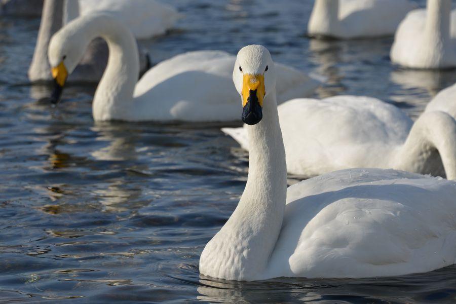 白鳥の舞い-6