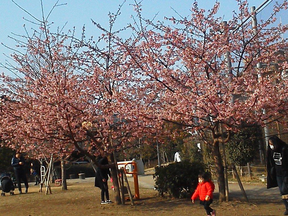 F1000126池袋本町電車の見える公園2月24日河津桜
