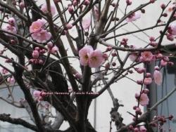 代々木の梅