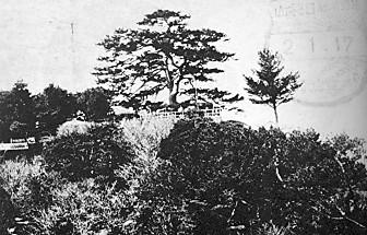 鳥羽日和山松の木