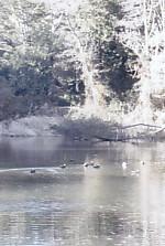 四つ池公園2番目鴨