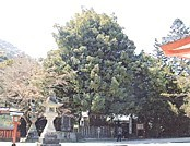 熊野速玉大社梛の木