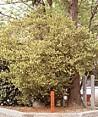 天台烏薬の木