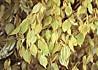 天台烏薬の葉