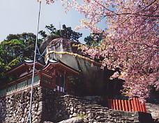 神倉神社ゴトビキ岩櫻