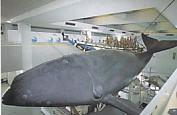 くじら博物館鯨の模型