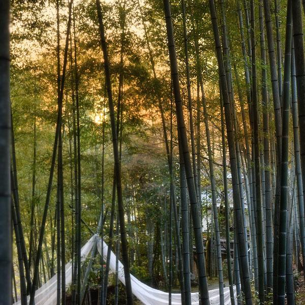 竹林で夕陽