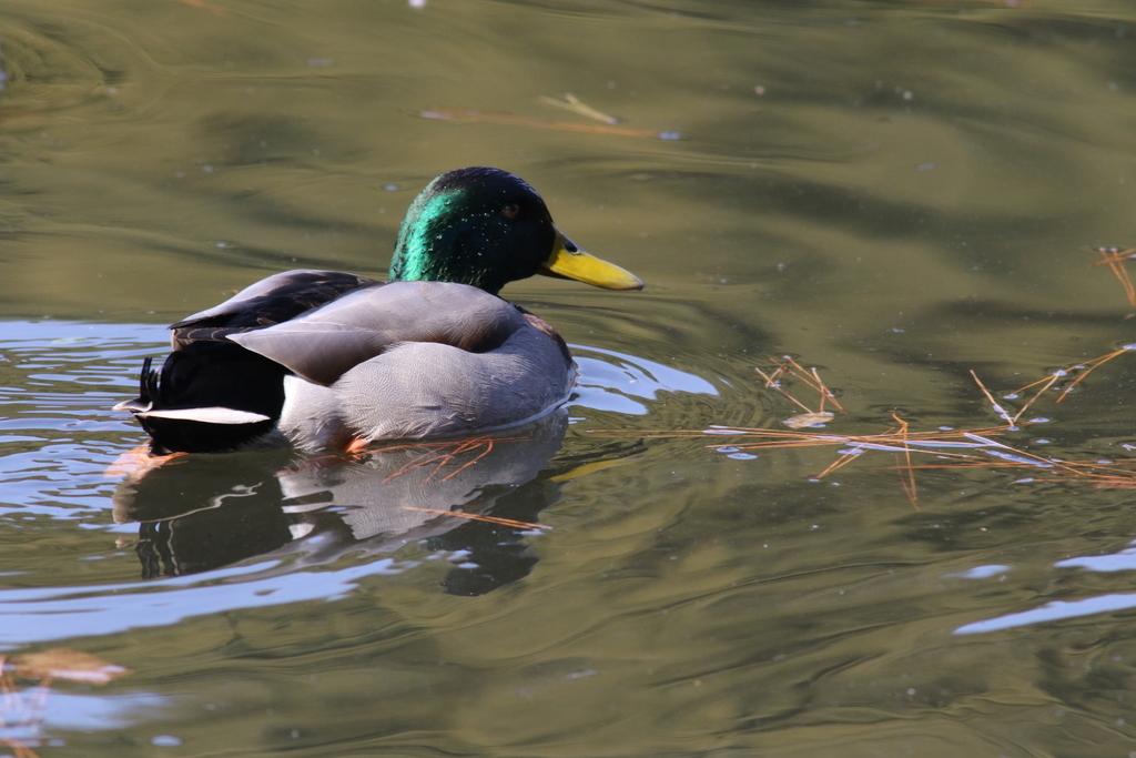 他の鴨さん_1