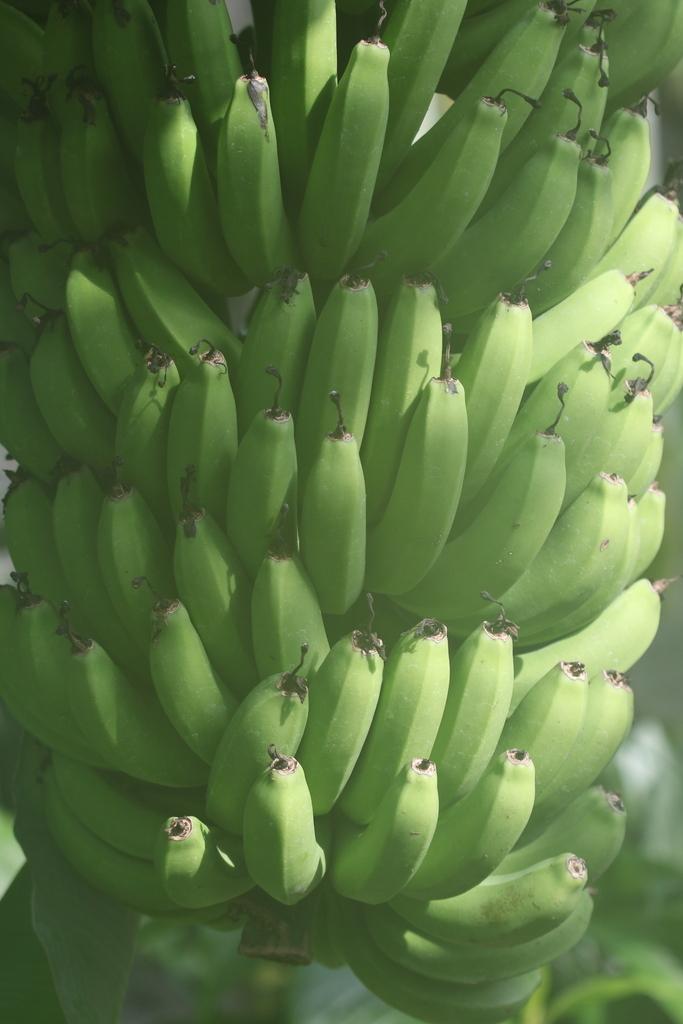 三尺バナナ_1