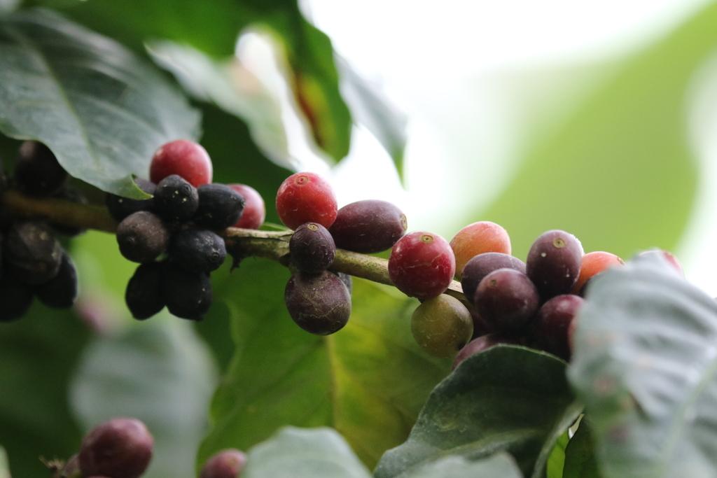 アラビアコーヒー_2