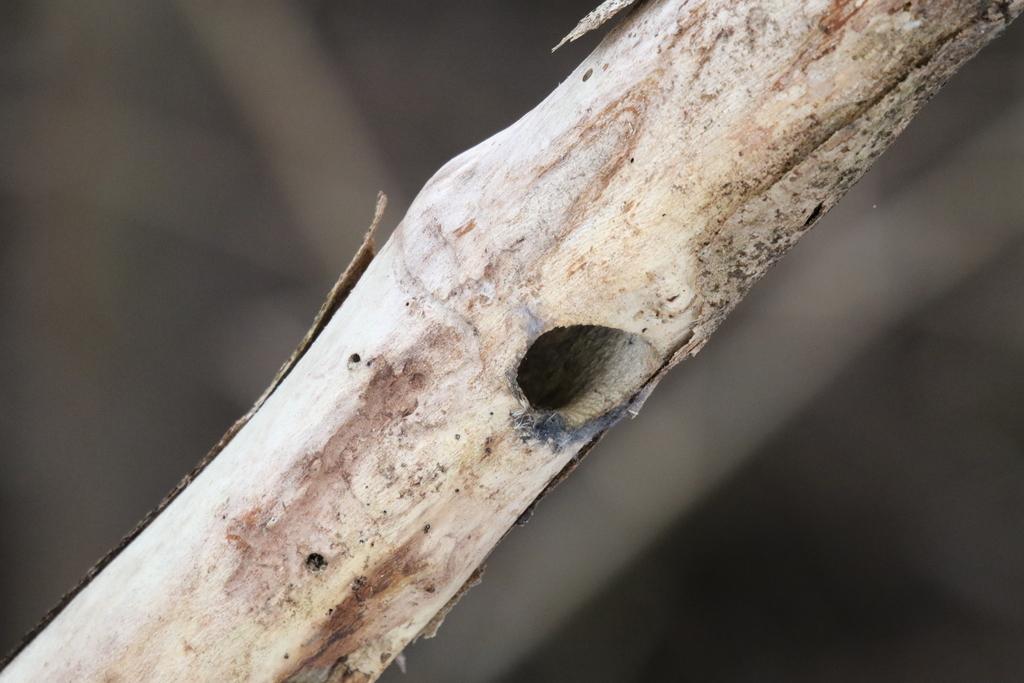 コゲラの巣の跡