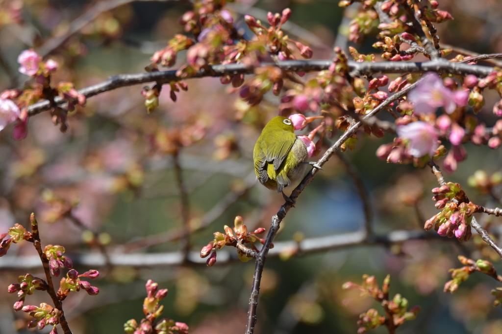 河津桜とメジロ_1