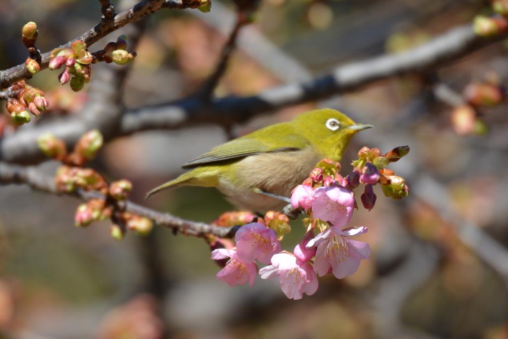 河津桜とメジロ_2