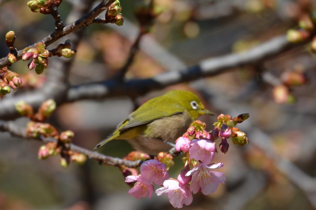 河津桜とメジロ_3