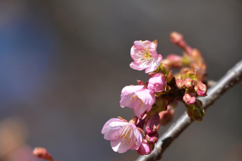 河津桜とメジロ_4