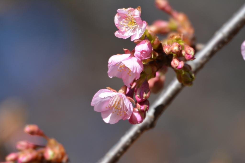 河津桜とメジロ_5