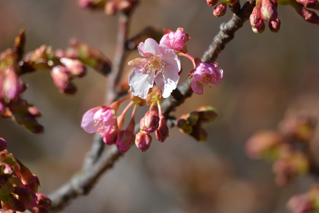 河津桜とメジロ_6