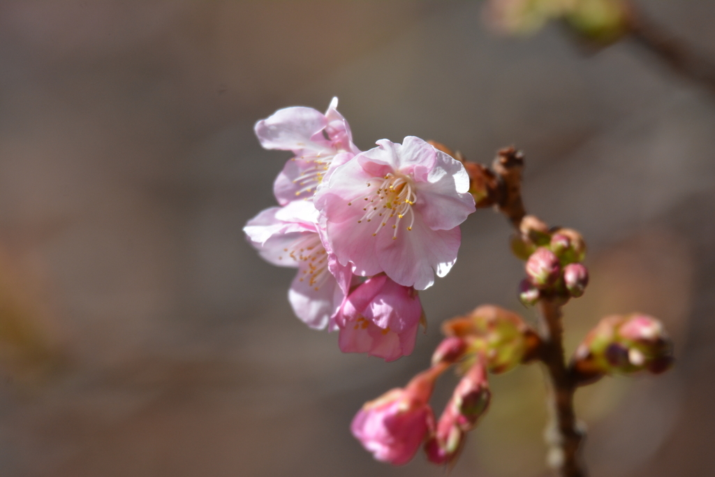 河津桜とメジロ_7
