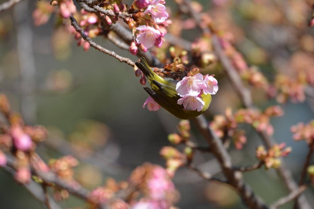 河津桜とメジロ_8