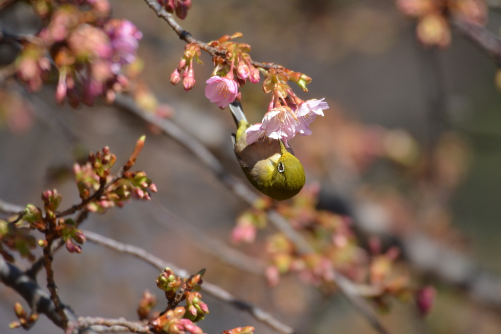 河津桜とメジロ_10
