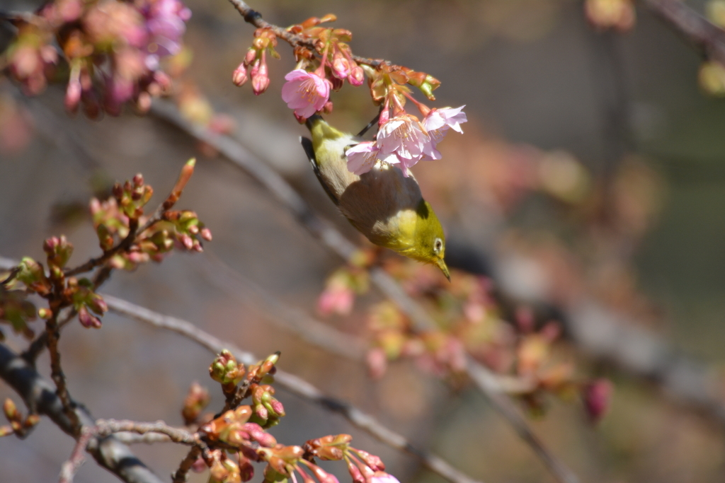 河津桜とメジロ_9