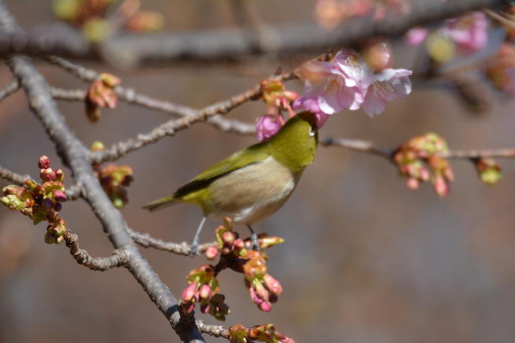 河津桜とメジロ_12