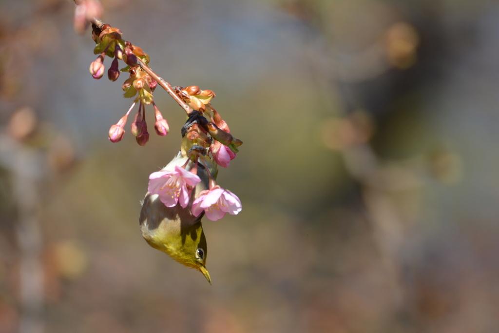 河津桜とメジロ_13
