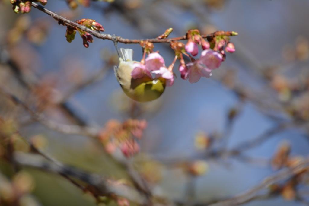 河津桜とメジロ_14