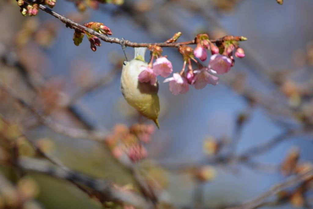 河津桜とメジロ_15