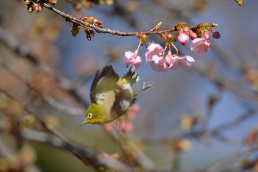 河津桜とメジロ_16