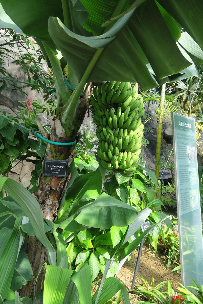 三尺バナナ_2