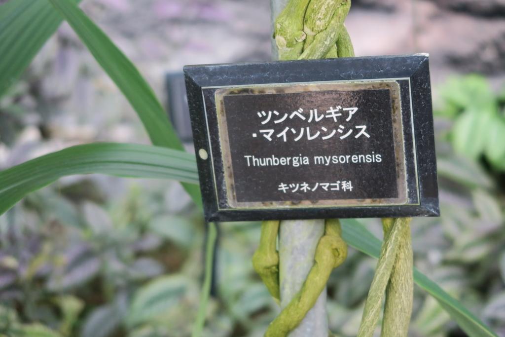 ツンべルギア・マイソレンシス_4