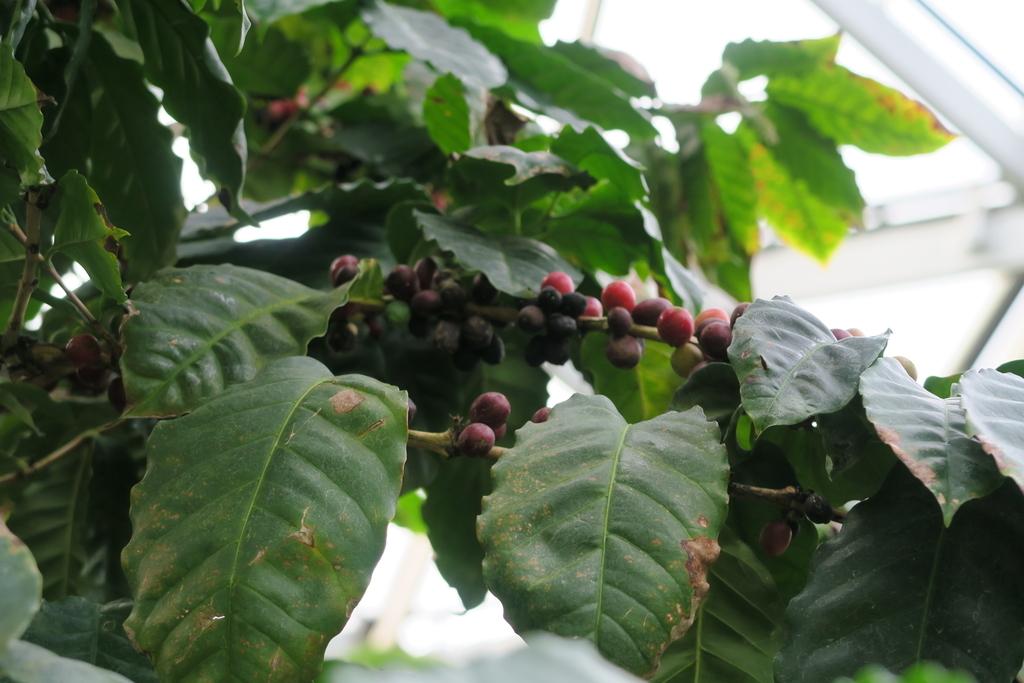 アラビアコーヒー_4