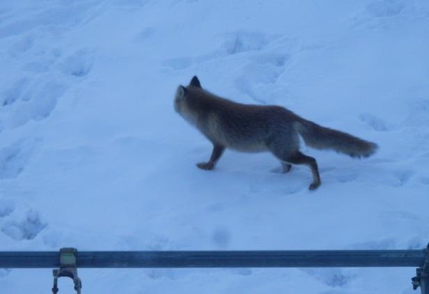 狐の訪問です