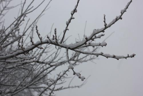 雪と梅のつぼみ
