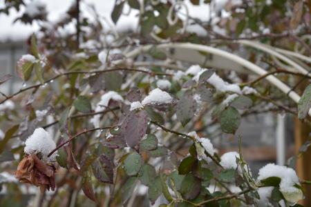雪のオデュ
