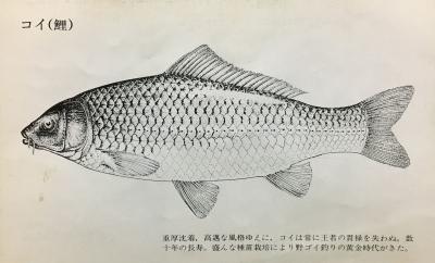 淡水大魚釣り コイの解説