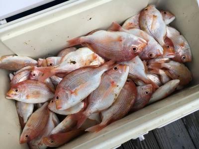 釣果のキダイ これでも昨日釣ったうちの4分の1ぐらいです