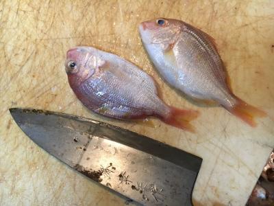 10cmちょっとの小さなキダイも釣ったからにはちゃんとさばいて食べます